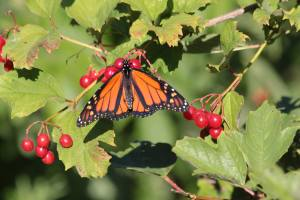 Monarch on High Bush Cranberry September 21, 2015 Photo by Michelle Sharp