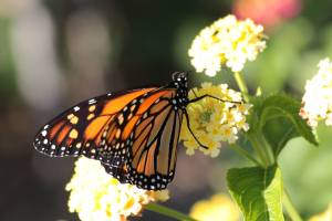 Monarch on Lantana September 21, 2015 Photo by Michelle Sharp