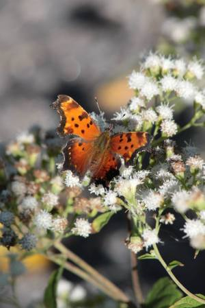 Comma on White Snakeroot September 21, 2015 Photo by Michelle Sharp