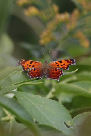 Comma September 27, 2015 Photo by Michelle Sharp