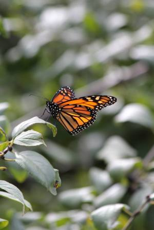 Monarch Butterfly September 27, 2015 Photo by Michelle Sharp