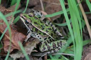 Leopard Frog September 28, 2015 Photo by Michelle Sharp