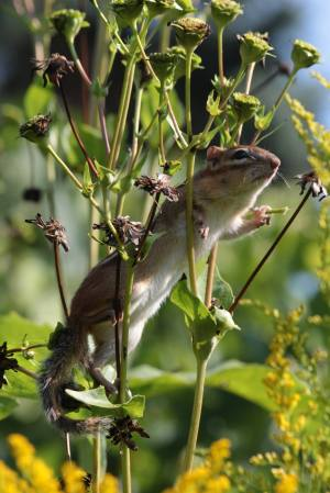 Chipmunk on Cup Plant September 6, 2015 Photo by Michelle Sharp