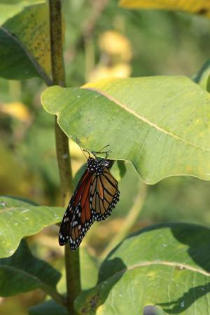 Monarch Depositing Egg on Common Milkweed September 6, 2015 Photo by Michelle Sharp