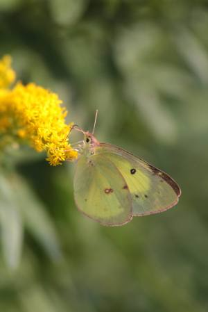 Clouded Sulphur September 7, 2015 Photo by Michelle Sharp
