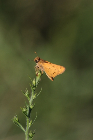 sept7_fiery-skipper