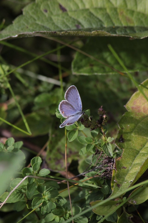 sept9_eastern-tailed-blue