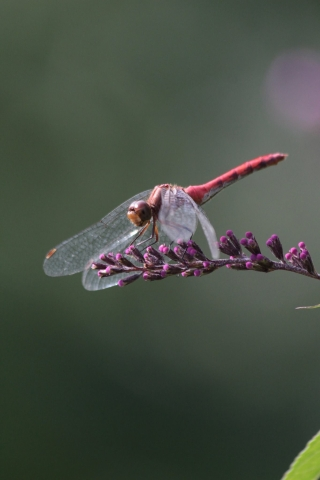 sept9_meadowhawk1