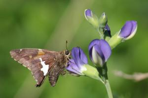 Silver Spotted Skipper on Indigo June 16, 2015 Photo by Michelle Sharp