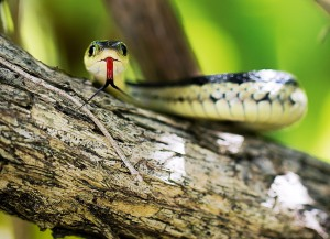 Garter Snake in a Shrub September 10, 2015 Photo by Valerie Nazemi
