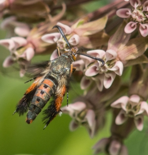 Squash Vine Borer (Clearwing Moth) on Milkweed Flower June 29, 2015 Photo by Debbie Garbe
