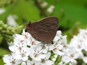 Striped Hairstreak on Gooseneck July 20, 2015 Photo by Bonnie Kinder