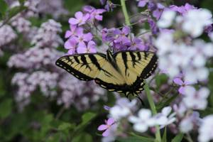 Tiger Swallowtail on Dame's Rocket May 28, 2015 Photo by Michelle Sharp