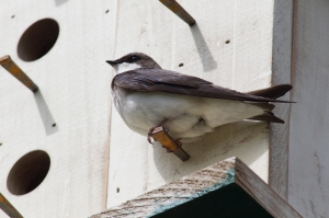 Tree Swallow May 17, 2015 Photo by Michelle Sharp