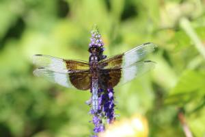 Widow Skimmer on Salvia August 21, 2015 Photo by Michelle Sharp