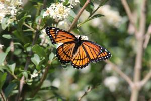 Viceroy on Privet June 19, 2015 Photo by Michelle Sharp