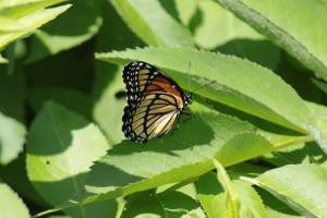 Viceroy on Privet (closed wing) June 19, 2015 Photo by Michelle Sharp