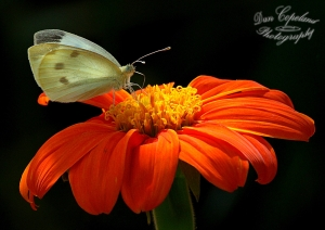 Cabbage White on Mexican Sunflower August 4, 2015 Photo by Dan Copeland