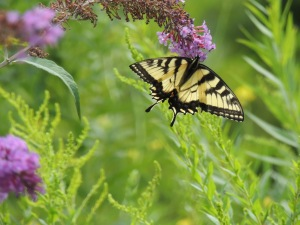 SECOND PLACE Annaliese Mori Age 15 Ancaster Tiger Swallowtail