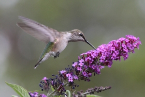SECOND PLACE Michelle Sharp dundas Ruby Throated Hummingbird on Butterfly Bush (immature male)
