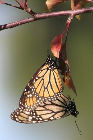 WINNER Michelle Sharp Dundas Mating Monarchs