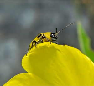 HONOURABLE MENTION Kathy Ward Stoney Creek Spotted Cucumber Beetle (Diabrotica undecimpunctata)