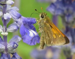 WINNER Doug Hall Guelph Tawny-Edged Skipper