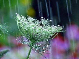 HONOURABLE MENTION Jennifer M. Livick Brantford Queen Anne's Lace