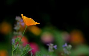 HONOURABLE MENTION Melanie Howarth Guelph California Poppy (Eschscholzia Californica