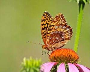 SECOND PLACE Melanie Howarth Hamilton Great Spangled Fritallary (Speyeria Cybele)