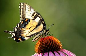 HOUNOURABLE MENTION James Lee Hamilton Eastern Tiger Swallowtail