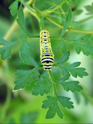 SECOND PLACE Jennifer M Livic Brantford Black Swallowtail Catterpillar Third Instar Stage