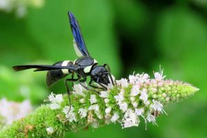 HONOURABLE MENTION Lois Mcnaught Hamilton Monobia Quadridens (Mason Wasp)