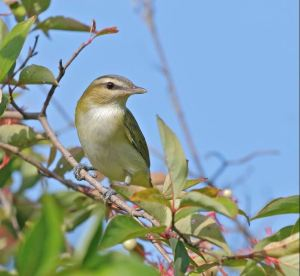 WINNER Melanie Howarth Guelph Red-Eyed Vireo (Vireo Olivaceous)
