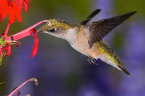 SECOND PLACE Joseph P Falcone Dundas Ruby Throated Hummingbird Female