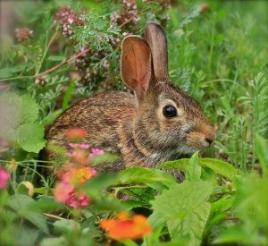 HONOURABLE MENTION Greg Bolzon Guelph Eastern Cottontail Rabbit