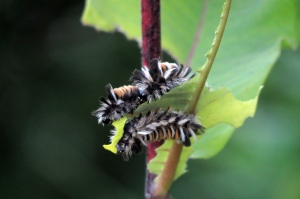 HONOURABLE MENTION Shelley Rottenberg Burlington Milkweed Tussock Moth Caterpillar