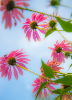 HONOURABLE MENTION Jim McCarthy Dundas Cone Flower