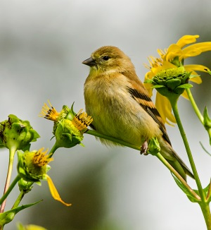 HONOURABLE MENTION Kathy Ward Stoney Creek Female Goldfinch on Cup Plant