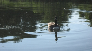 THANK YOU Patrick Fletcher Age 4 Dundas Canada Goose