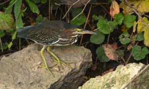 HONOURABLE MENTION Melanie Howarth Guelph Green Heron (Butorides virescens)