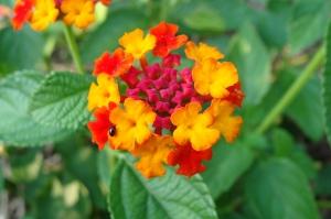 SECOND PLACE Sarah Rottenberg Age 15 Burlington Lantana Flower