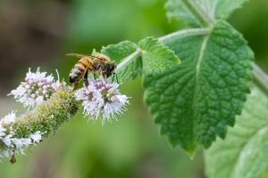 HONOURABLE MENTION Grace Robertson Mississauga Honeybee