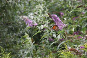 WINNER Landon Hiebert Age 9 Brantford Monarch Butterfly