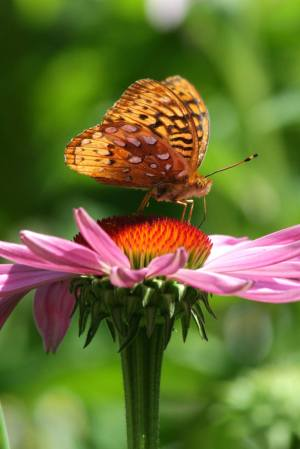 Great Spangled Fritillary July 9, 2016 Photo by Michelle Sharp
