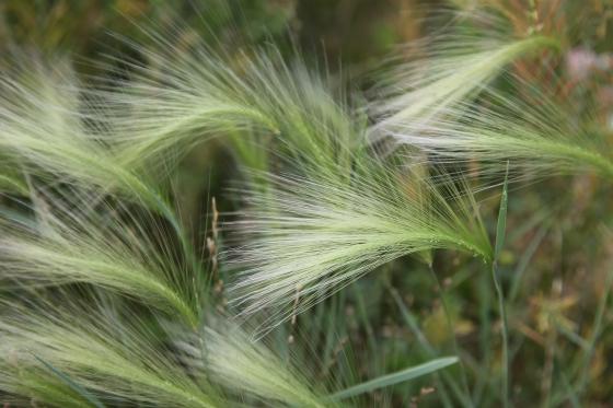 1ST PLACE Foxtail Barley Sarah Skinner Brown age 14 Dundas