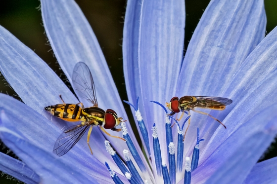 1ST PLACE Hoverflies (Syrphidae) on Chickory - Kathy Ward Stoney Creek