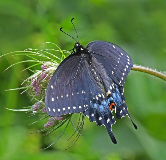 1st Place Spicebush Swallowtail