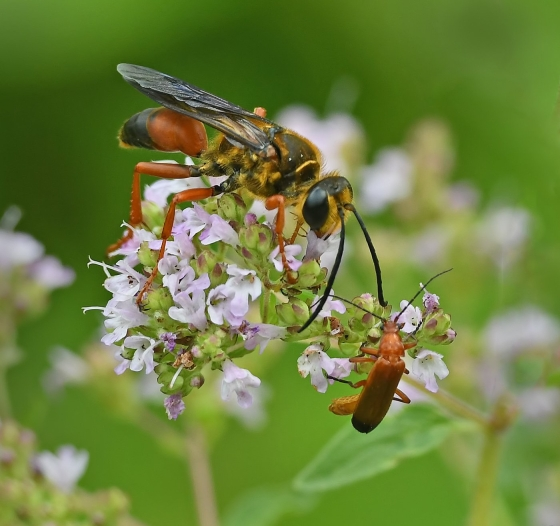 HONORARY MENTION Golden Digger Wasp and Red Soldier Beetle Ted Jez Burlington