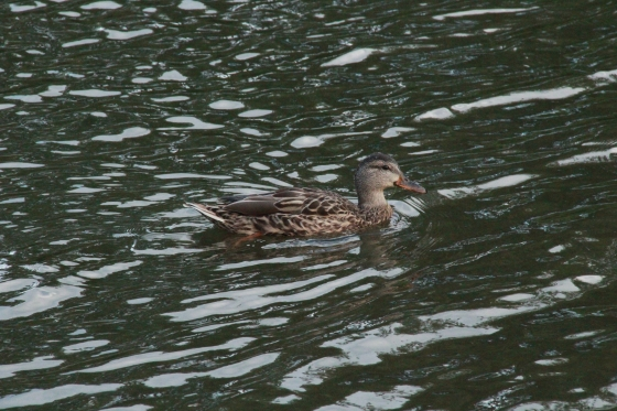HONORARY MENTION Mallard Duck Ramona Ribaudo-Begin Age 15 Hamilton